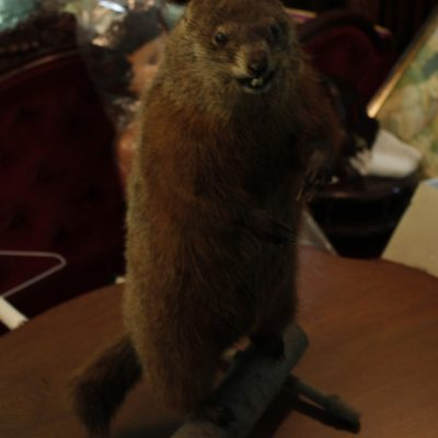 Marmotte empaillée